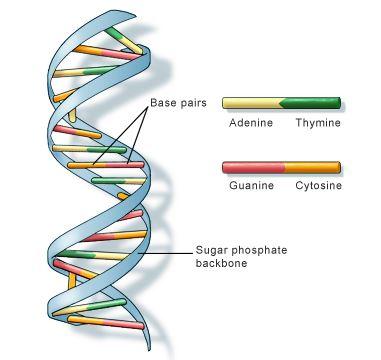 DNA कैसे कार्य करता है